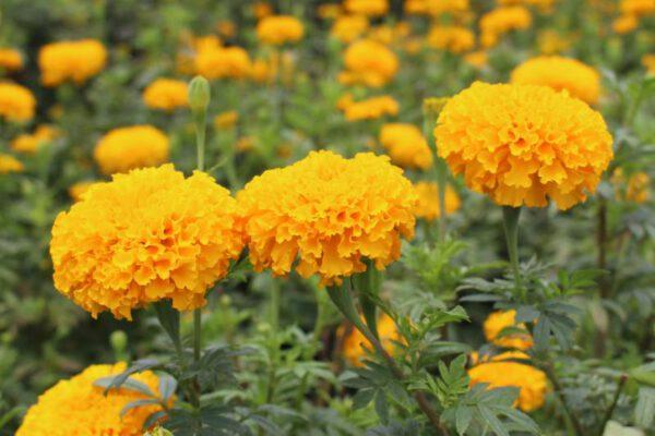 เมล็ดดอกดาวเรือง พันธุ์บาบูด้า สีทองเข้ม