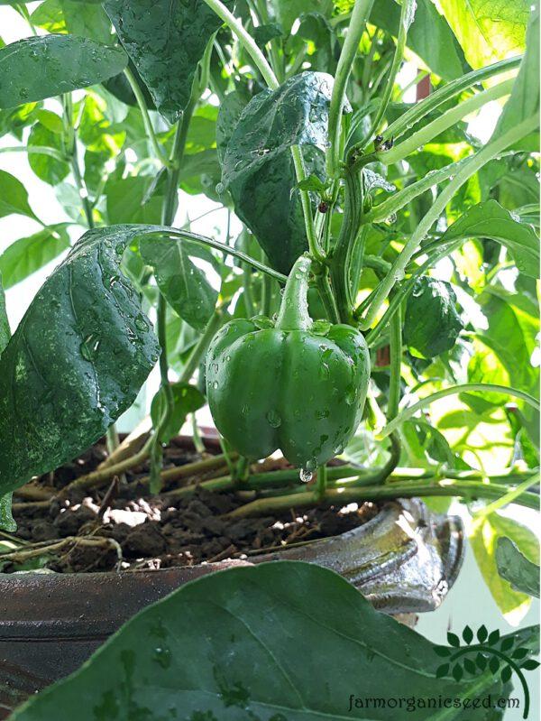 เมล็ดพริกหวานสีเขียว