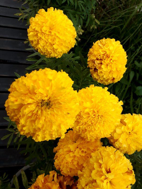 ดอกดาวเรือง พันธุ์ศรีสยามโกลด์