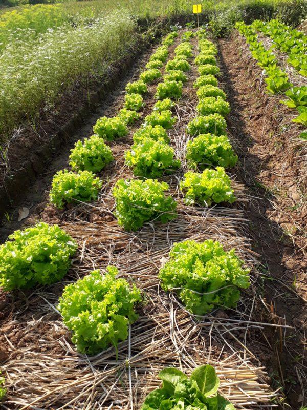 แปลงผักสลัดพันธุ์ผักกาดหอม แกรนแรพปิด