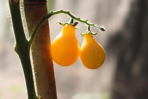 เมล็ดพันธุ์มะเขือเทศลูกแพร์สีเหลือง