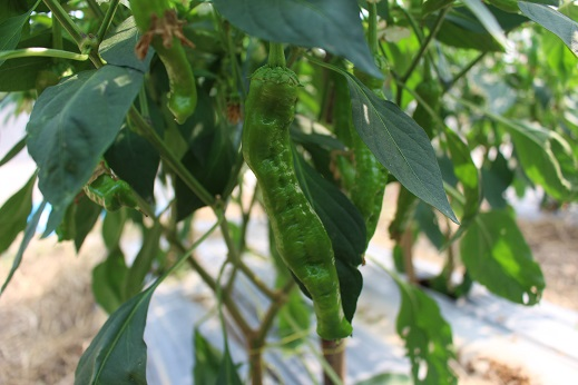 จำหน่ายเมล็ดพันธุ์พริกหยวกเขียว