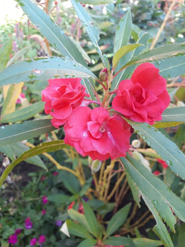ขายเมล็ดพันธุ์ดอกเทียนสีแดง