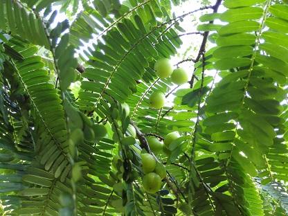 ขายเมล็ดพันธุ์มะขามป้อม