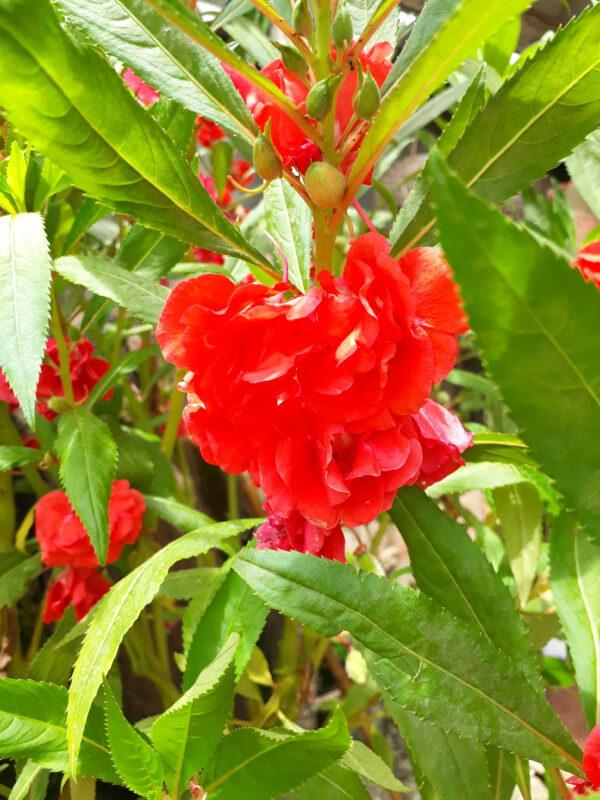 จำหน่ายเมล็ดพันธุ์ดอกเทียนสีแดง