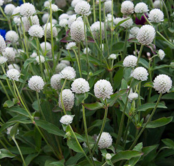 จำหน่ายเมล็ดพันธุ์ดอกบานไม่รู้โรยสีขาว