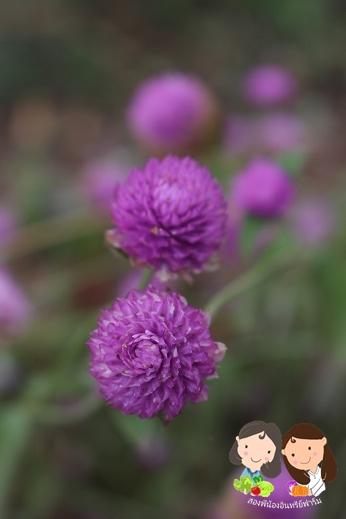 จำหน่ายเมล็ดพันธุ์ดอกบานไม่รู้โรยสีชมพู